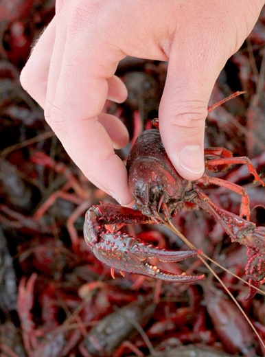 Grade A Crawfish | Wholesale Crawfish
